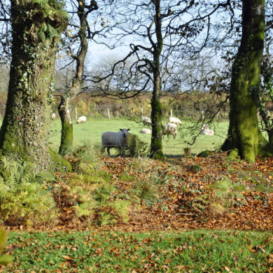 Sheep in adjoining fields to Manor Bedw Holiday Cottage garden near Narberth Pembrokeshire